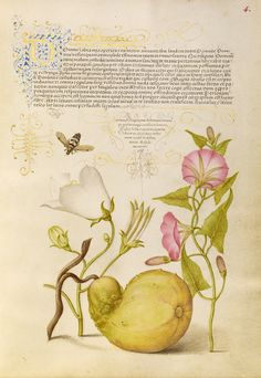 Fly or Blister Beetle, Willow Bellflower, Gourd, and Bindweed; Joris Hoefnagel (Flemish / Hungarian, 1542 - 1600), and Georg Bocskay (Hungarian, died 1575); Vienna, Austria; 1561 - 1562; illumination added 1591 - 1596; Watercolors, gold and silver paint, and ink on parchment; Leaf: 16.6 x 12.4 cm (6 9/16 x 4 7/8 in.); Ms. 20, fol. 4. High res image from the Getty Museum.