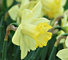 NEW! Narcissus Pistachio    The pale yellow petals have a greenish cast that is accentuated by a white overlay around the cup. The effect is luminous against the bright yellow trumpet with its ruffled, deeper yellow rim. An unusual, very attractive reverse bicolor combination. Early.    Large, bright Narcissus blooms are for many gardeners the first visible signs of spring. These vigorous, long-lived bulbs thrive joyously in sunny, well-drained places, are shunned by hungry deer and voles…