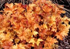 Heucheras: Amber Waves : Heucheras or often called Coral Bells, are hardy plants that make a great ground cover. They come in many varieties and have beautiful colors Garden Shrubs, Shade Garden, Garden Plants, Garden Art, Garden Design, Buy Plants, Shade Plants, White Flowers, Beautiful Flowers