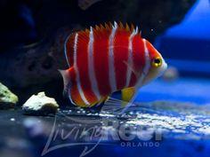 Peppermint Angelfish - most expensive salt water fish! Best Aquarium Fish, Marine Aquarium Fish, Ocean Aquarium, Marine Fish, Tropical Freshwater Fish, Freshwater Aquarium Fish, Tropical Fish, Salt Water Fish, Saltwater Tank