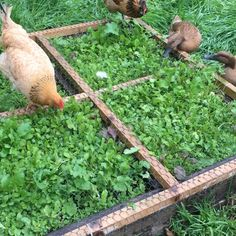 "Here's our chickens & ducks raised bed in action! We planted @treats4chickens ""Run Replacer"" inside and built a forage frame to lay on top so the plants will grow through the chicken fence but the birds won't be able to access the roots to scratch and peck them away! It works so well, the birds love it & provides some good entertainment for the backyard flocks! #ChickenForageFrame SC TheUrbanLadyBug"
