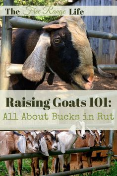 Your buck is half your herd. Learn all about raising them and how to bucks in rut differ from your other goats.