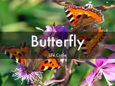 Butterfly Life Cycle - A Haiku Deck by Kristen Robertson Butterfly Life Cycle, Complete Sentences, Life Cycles, Haiku, Case Study, Classroom Ideas, Presentation, Deck, Education