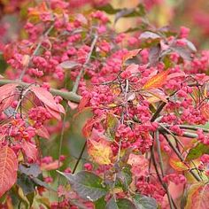 Spindle plant / flower - The colourful berries on this shrub make it a favourite for many birds. Spindle is easy to grow and makes an excellent hedge and nesting site for birds, especially Robins.