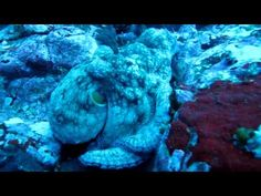 cocos island and my favourite cephalopod