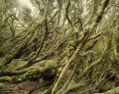 Dracophyllum Forest