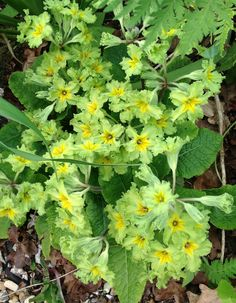 Primrose Francesca Shade Shrubs, Shade Garden Plants, Blooming Flowers, Green Flowers, Primroses, Hardy Perennials, Natural Forms, Plant Design, Grasses