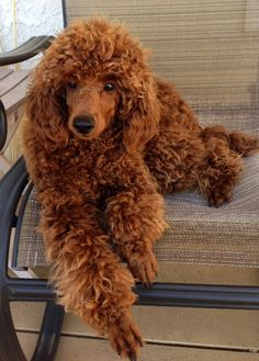 Red Poodle at 9 months