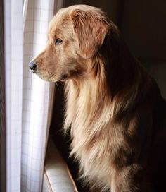 Golden watch dog