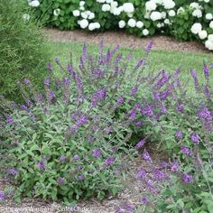 """Butterfly Bush, Lo & Behold 'Blue Chip Jr.' The next generation of Lo & Behold® 'Blue Chip', young Junior is smaller, less brittle, and has attractive silver-green leaves. Great for mass plantings, containers or mixed into perennial gardens. It flowers from mid-summer to frost. 18-24' x 18-24"""""""