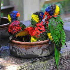 two's company - three's a crowd  - Rainbow Lorkeets