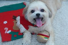 Tiny Pets Holiday Photo Contest. Second place winner: Foong's smiling dog named Mimi. #tinypets #tinyco