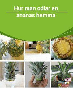 Hur man odlar en ananas hemma  Detta är artikeln för dig om du är #nyfiken på hur man odlar en #ananas hemma. Läs vidare! Det är roligt och enkelt! #Allt du behöver är toppen från en ananas, en burk #med vatten och en blomkruka.