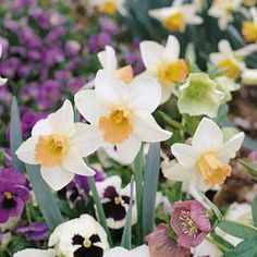 Narcissi (Daffodils)