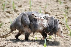 Mommy opossum