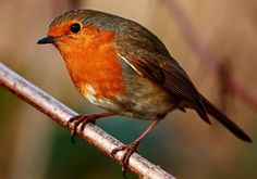 British Robin Picture By Necip Perver -