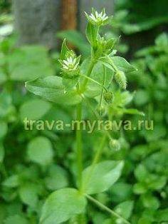 Трава мокрица (звездчатка)