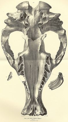 from Zoology of the Beagle, by Richard Owen, edited by Charles Darwin, 1840.