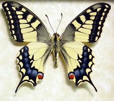 Japanese Butterfly Papilio Machaon