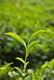 Google Image Result for https://upload.wikimedia.org/wikipedia/commons/f/f4/Tea_Plant.jpg