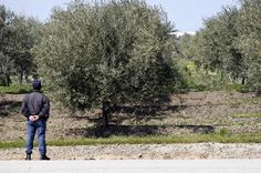 Sousel: Cinco detidos em flagrante delito por furto de azeitona | Portal Elvasnews