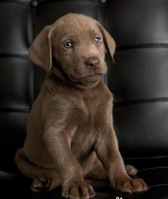 Chocolate Labs Labrador Retriever- look @ that sweet face, looks like he's going to fall asleep & slide into it.