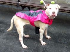 TO BE DESTROYED - WEDNESDAY - 4/2/14- Manhattan Center    VELVET - A0995073    FEMALE, TAN / WHITE, PIT BULL MIX, 5 yrs  STRAY - STRAY WAIT, NO HOLD  Reason STRAY   Intake condition NONE Intake Date 03/28/2014, From NY 10454, DueOut Date 03/31/2014  https://www.facebook.com/photo.php?fbid=779613845384830&set=a.617938651552351.1073741868.152876678058553&type=3&permPage=1