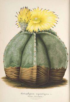 Bishop's Hat or  Mexican Cactus. (Astrophytum myriostigma) - 1861