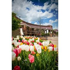 University of Alabama Spring Tulips