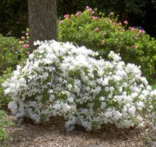 Autumn Angel Encore Azalea - Only White Azalea that blooms Spring, Summer and Fall. Front windows?