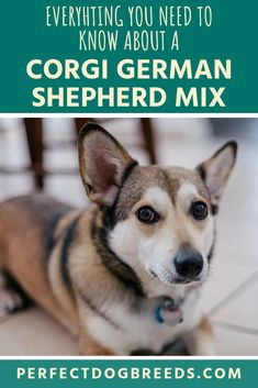 Both the Corgi and the German Shepherd are both spirited, friendly and energetic pooches. So you should expect this mix to be no different. Learn everything you need to know about a Corgi German Shepherd mix in our breed guide. German Shepherd Corgi Mix, Shepherd Dogs, Corgi Mix Breeds, Smartest Dog Breeds, Mixed Breed, Need To Know, Husky, Sheep Dogs, Husky Dog