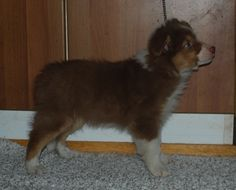 "I found a picture of our very own dog Australian Shepherd ""Urho"" (the brave) when being 8 weeks old"