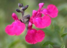 SALVIA greggii 'Pink Blush' (BA7) ↕ 50 cm ↔ 60 cm. Petites feuilles vert foncé, fleurs rose vif de juin à octobre. Zone USDA 8b(-9°C)