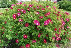 Pensasruusu- Red Color, Fruit, Garden, Plants, Pink, Inspiration, Nature, Biblical Inspiration, The Fruit