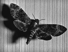"""Acherontia atropos  [Stil from """"Un chien andalou"""" - L. Buñuel]"""