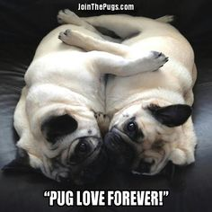 """Two pugs lying together in a friendly hug """"Aren't my nails cute?""""""""When I brought my pugs to the vet."""" Pugs have these problems too. Pug Love, I Love Dogs, Amor Pug, Don Meme, Animals Beautiful, Cute Animals, Pugs And Kisses, Pug Pictures, Cute Pugs"""