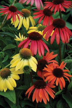 New Hybrid Echinaceas | Wisconsin Gardening Hot Plants Love these colors.