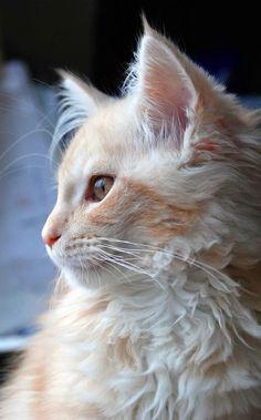 Peach and cream kitty