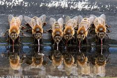 European honeybees find cool relief on a summer day, using their straw-like tongues, or proboscises, to sip water from a backyard birdbath. Photo credit: Kathy Noteboom / Grand Prize by National Wildlife Federation