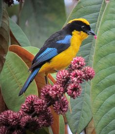 Anisognathus somptuosus - BLUE-WINGED MOUNTAIN-TANAGER by felixú, via Flickr