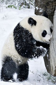 First Snow for Baby Panda ✿⊱╮