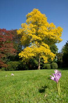 FRISIA Robinia pseudoacacia
