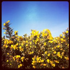 Gorse on Trencrom Hill