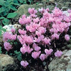 Cyclamen neapolitanum: these surprisingly hardy cyclamen stay low and reappear with gorgeous flowers and stunning leaf patterns all season.