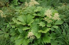 Rodgersia aesculifolia (23/06/2013, Kew Gardens, London)