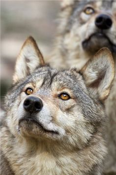 Wolves looking up to heaven like they are saying Please help save us!!!
