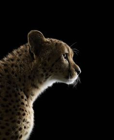 Cheetah #2 Los Angeles CA 2011.  Limited edition archival digital pigment print.  #colorphotography #contemporaryart #contemporaryphotography #fineart #fineartphotography #hasselblad #iconicwildlife #nature #naturephotography #phaseone #portrait #portraitphotography #profotousa #wildlife #wildlifephotography  @photoeye_gallery  PhotoEye.com DoinelGallery.com