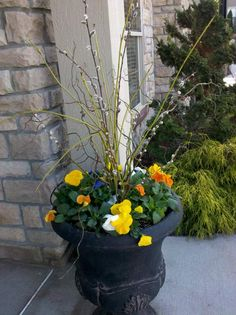 Pansies potted for early spring.. its only March!