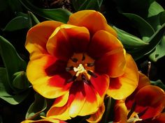 Red and Yellow Flower By Kristine Euler