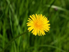 dandelion - garden weeds for food and medicine